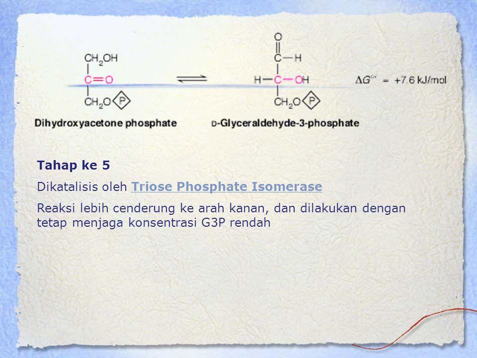 Tahap ke 5 Dikatalisis oleh Triose Phosphate IsomeraseTriose Phosphate Isomerase Reaksi lebih cenderung ke arah kanan, dan dilakukan dengan tetap menj