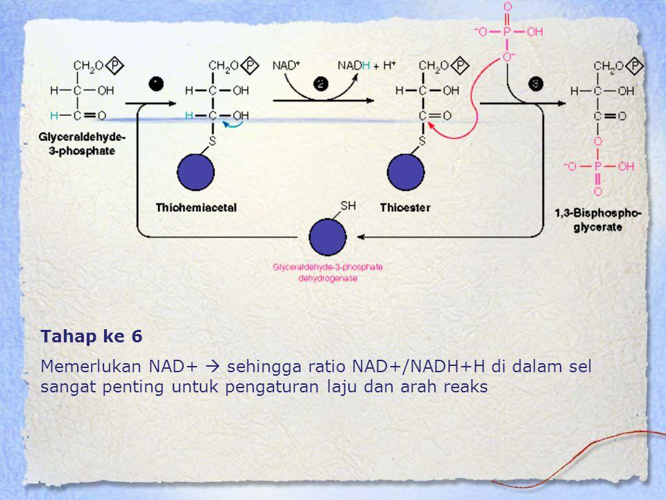 Tahap ke 6 Memerlukan NAD+  sehingga ratio NAD+/NADH+H di dalam sel sangat penting untuk pengaturan laju dan arah reaks