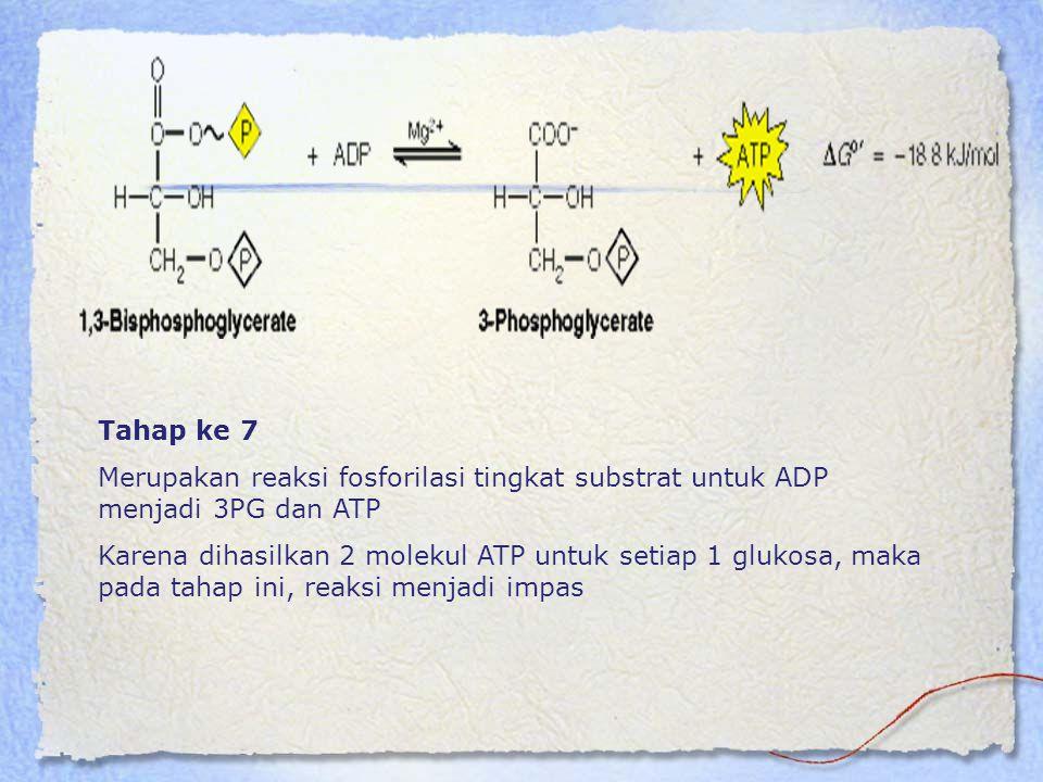 Tahap ke 7 Merupakan reaksi fosforilasi tingkat substrat untuk ADP menjadi 3PG dan ATP Karena dihasilkan 2 molekul ATP untuk setiap 1 glukosa, maka pa
