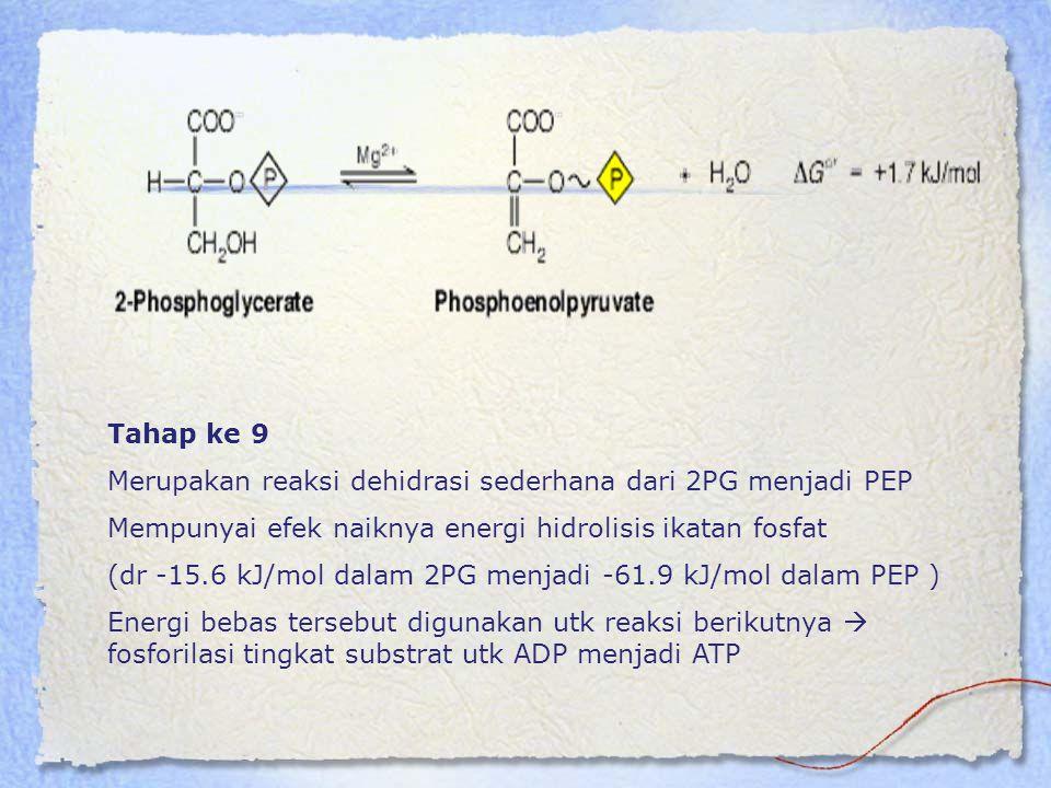 Tahap ke 9 Merupakan reaksi dehidrasi sederhana dari 2PG menjadi PEP Mempunyai efek naiknya energi hidrolisis ikatan fosfat (dr -15.6 kJ/mol dalam 2PG