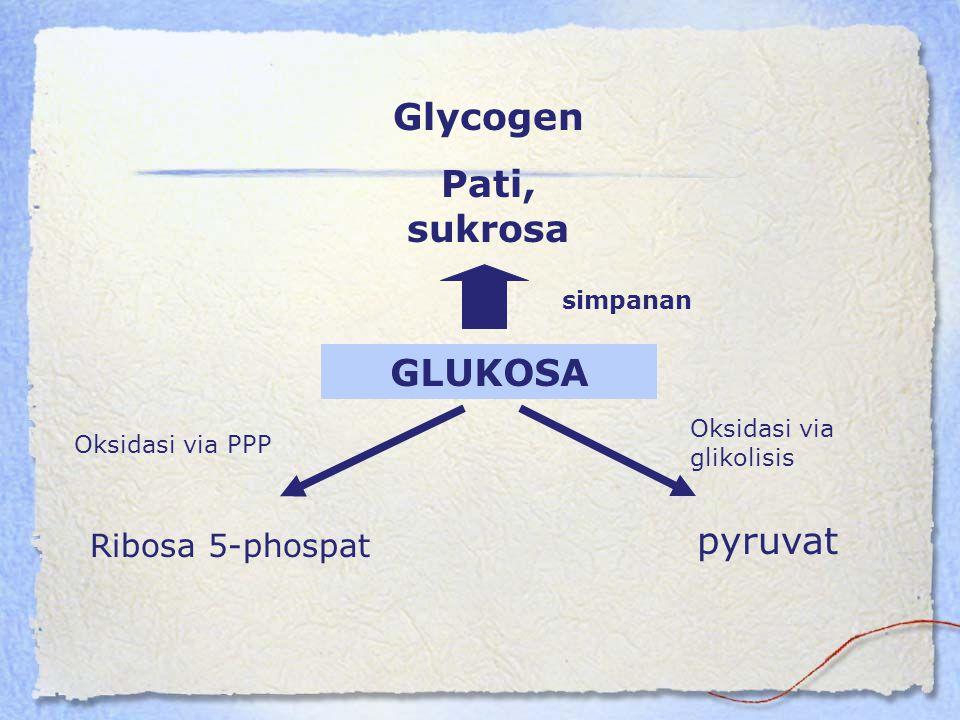 GLUKOSA Glycogen Pati, sukrosa Ribosa 5-phospat pyruvat simpanan Oksidasi via PPP Oksidasi via glikolisis