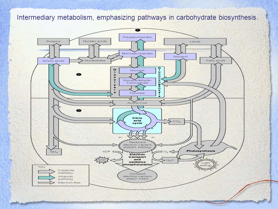 Intermediary metabolism, emphasizing pathways in carbohydrate biosynthesis.
