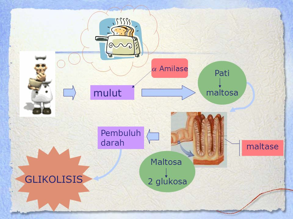 Glukosa 6P  glukosa : merupakan reaksi bypass ke 3 Dikatalisis oleh ensim glukosa 6 fosfatase Glukoneogenesis  membutuhkan banyak energi dan bersifat irreversibel
