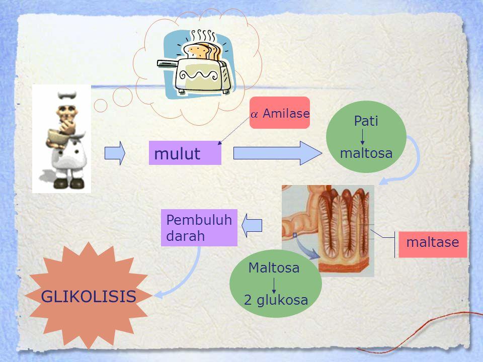 mulut  Amilase maltase Maltosa 2 glukosa Pembuluh darah GLIKOLISIS Pati maltosa