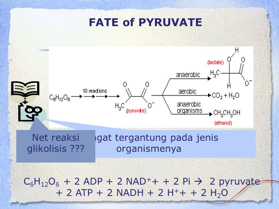 FATE of PYRUVATE C 6 H 12 O 6 + 2 ADP + 2 NAD + + + 2 Pi  2 pyruvate + 2 ATP + 2 NADH + 2 H + + + 2 H 2 O Sangat tergantung pada jenis organismenya N