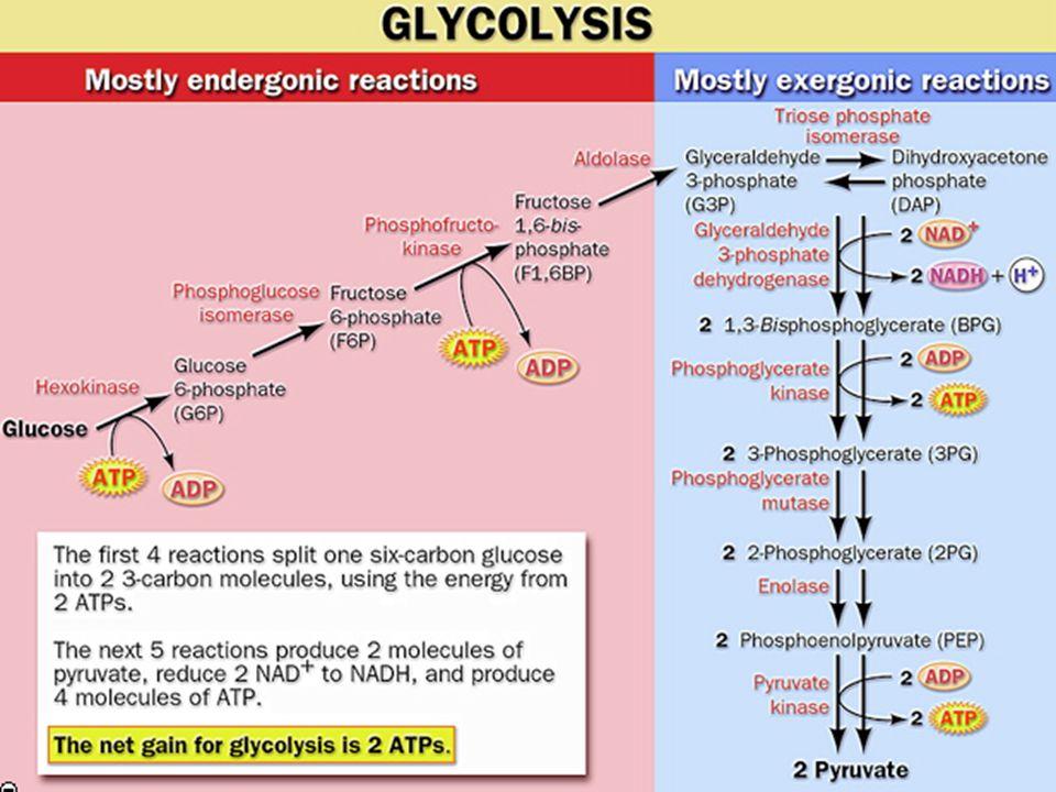 Tahap pengembalian / pay off Memerlukan 2 molekul ATP Memecah gula heksosa menjadi molekul 2 triose fosfat Tahap persiapan 4 ATP 2 molekul piruvat 2 molekul NADH + H