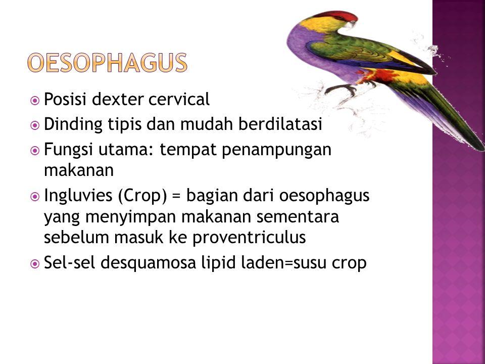  Posisi dexter cervical  Dinding tipis dan mudah berdilatasi  Fungsi utama: tempat penampungan makanan  Ingluvies (Crop) = bagian dari oesophagus