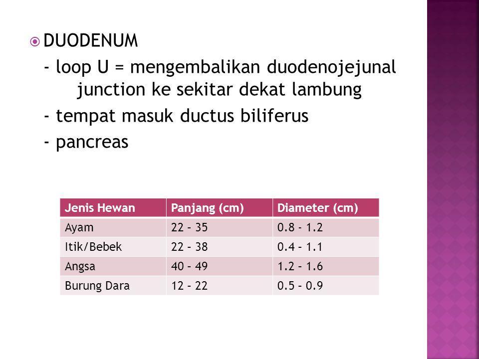  DUODENUM - loop U = mengembalikan duodenojejunal junction ke sekitar dekat lambung - tempat masuk ductus biliferus - pancreas Jenis HewanPanjang (cm