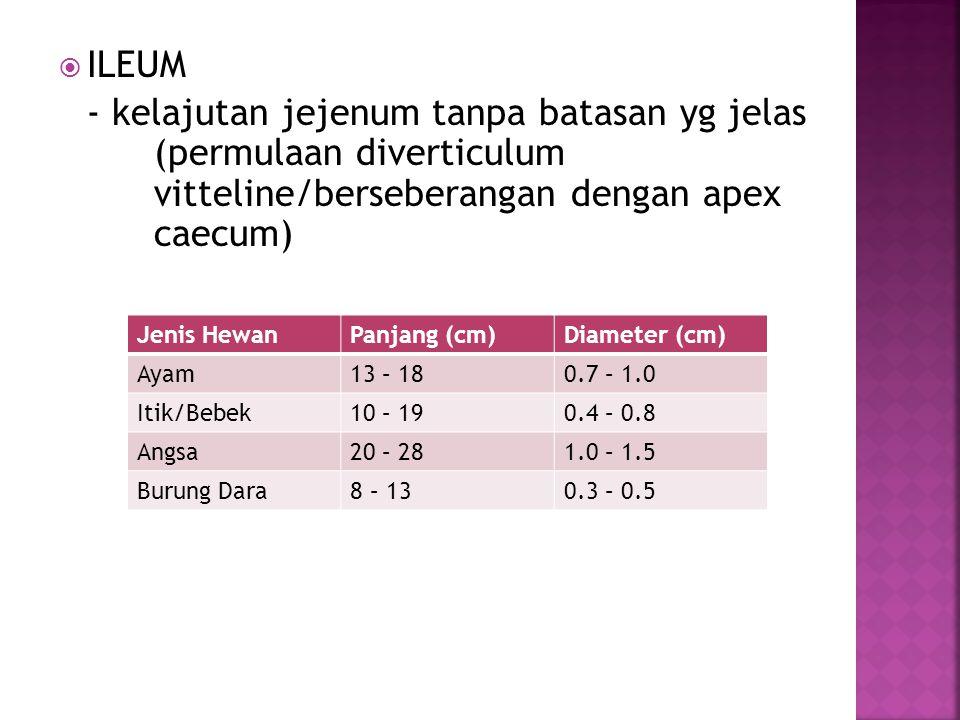  ILEUM - kelajutan jejenum tanpa batasan yg jelas (permulaan diverticulum vitteline/berseberangan dengan apex caecum) Jenis HewanPanjang (cm)Diameter