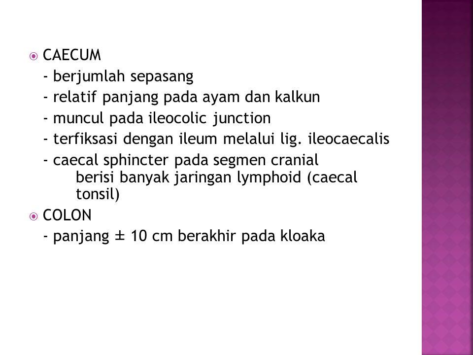  CAECUM - berjumlah sepasang - relatif panjang pada ayam dan kalkun - muncul pada ileocolic junction - terfiksasi dengan ileum melalui lig. ileocaeca