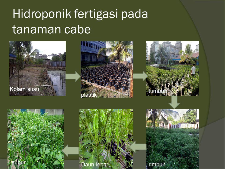 Hidroponik fertigasi pada tanaman cabe Kolam susu plastik tumbuh subur Daun lebarrimbun