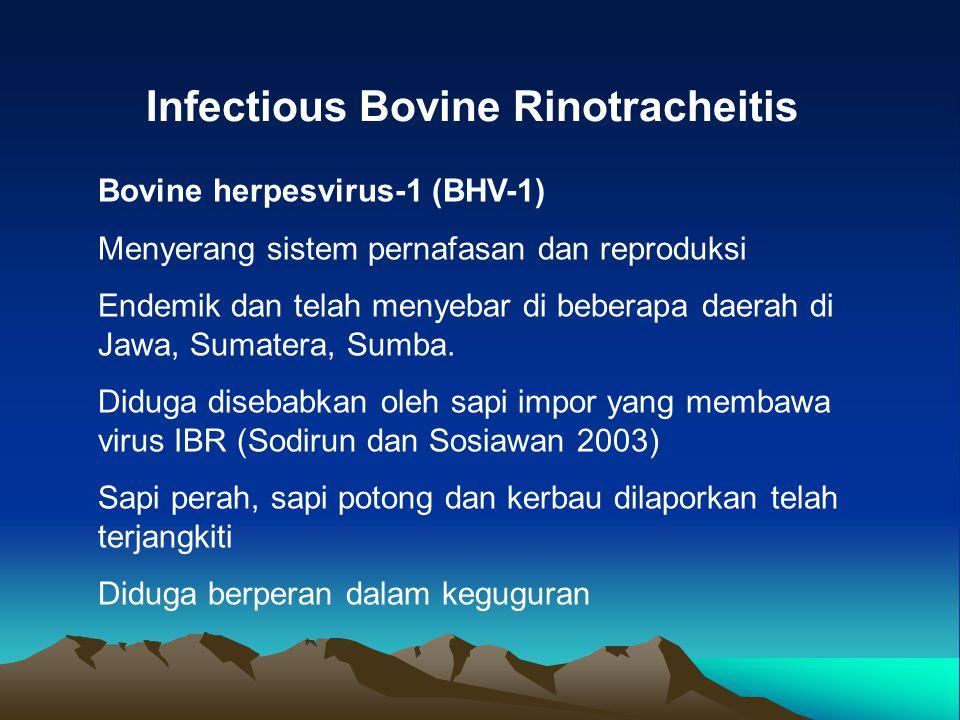 Infectious Bovine Rinotracheitis Bovine herpesvirus-1 (BHV-1) Menyerang sistem pernafasan dan reproduksi Endemik dan telah menyebar di beberapa daerah