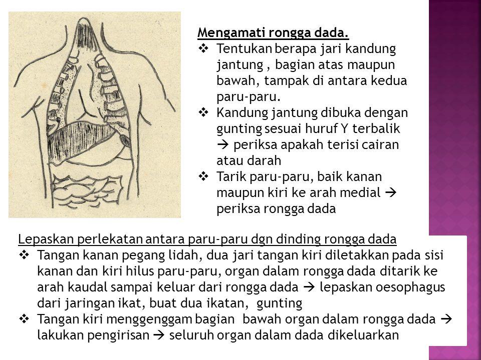 Mengamati rongga dada.  Tentukan berapa jari kandung jantung, bagian atas maupun bawah, tampak di antara kedua paru-paru.  Kandung jantung dibuka de