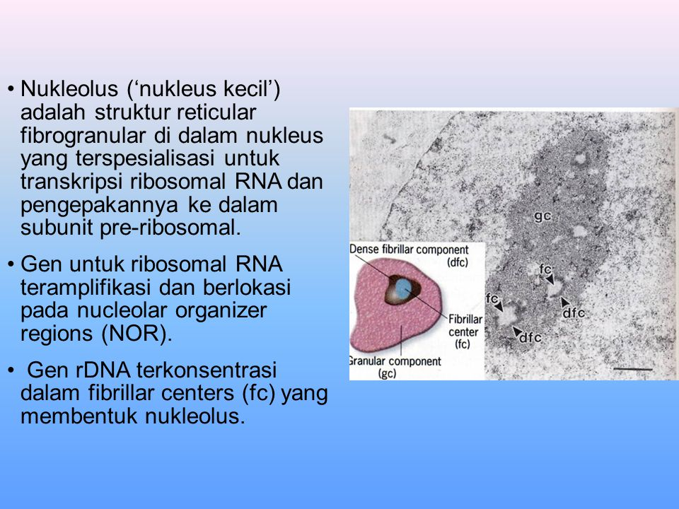 Nukleolus ('nukleus kecil') adalah struktur reticular fibrogranular di dalam nukleus yang terspesialisasi untuk transkripsi ribosomal RNA dan pengepak