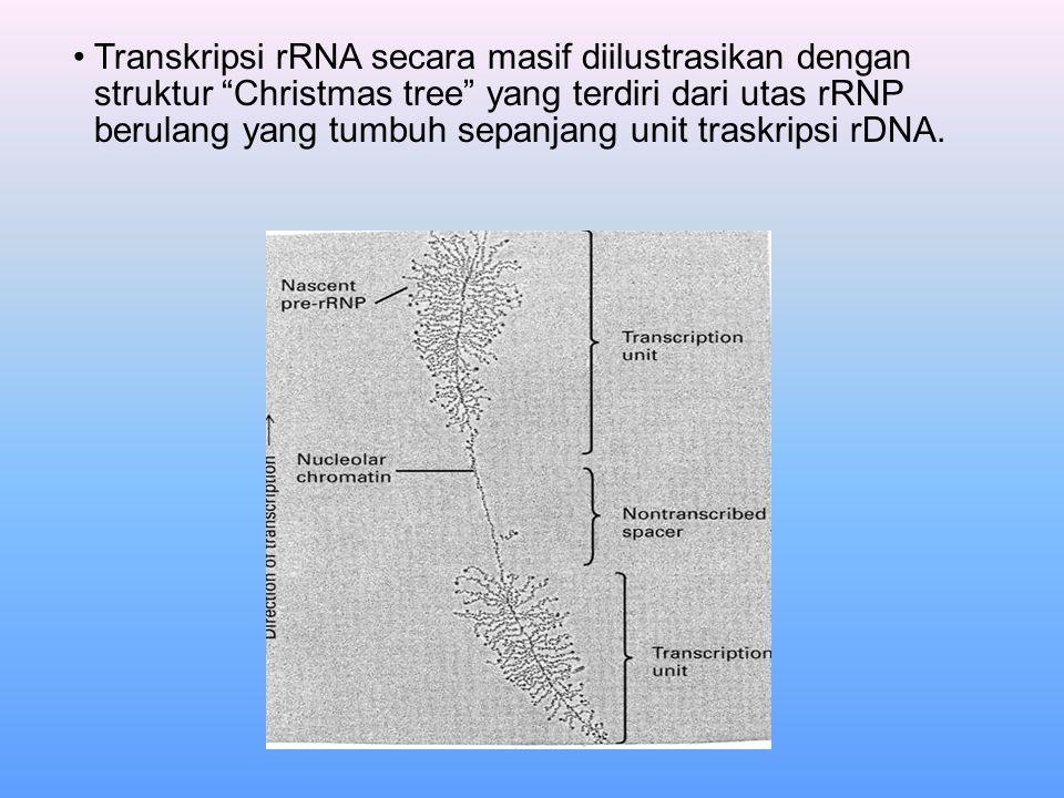 """Transkripsi rRNA secara masif diilustrasikan dengan struktur """"Christmas tree"""" yang terdiri dari utas rRNP berulang yang tumbuh sepanjang unit traskrip"""