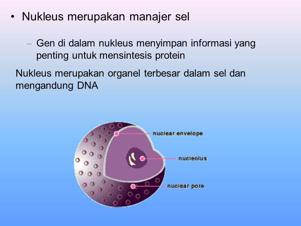 Nukleus merupakan manajer sel – Gen di dalam nukleus menyimpan informasi yang penting untuk mensintesis protein Nukleus merupakan organel terbesar dal