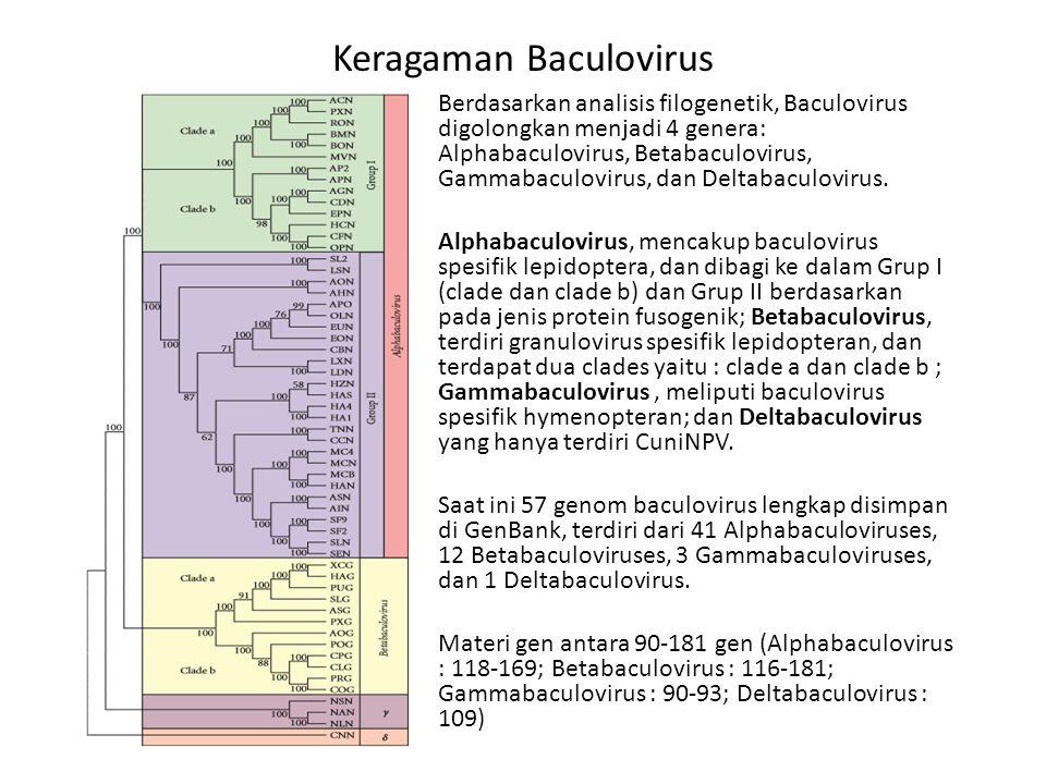 Berdasarkan analisis filogenetik, Baculovirus digolongkan menjadi 4 genera: Alphabaculovirus, Betabaculovirus, Gammabaculovirus, dan Deltabaculovirus.
