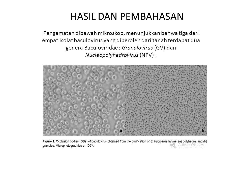 HASIL DAN PEMBAHASAN Pengamatan dibawah mikroskop, menunjukkan bahwa tiga dari empat isolat baculovirus yang diperoleh dari tanah terdapat dua genera Baculoviridae : Granulovirus (GV) dan Nucleopolyhedrovirus (NPV).