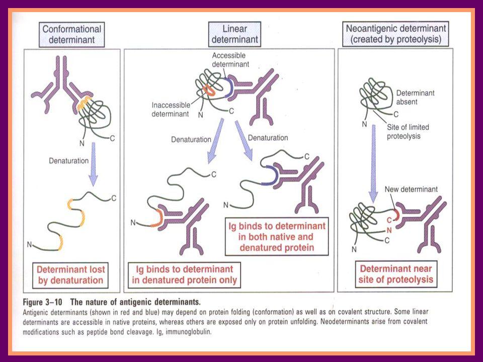 imunogen Imunogenesitas tergantung pada 1.Keasingan (foreigness) 2.Sifat kimia  kompleksitas dan ukuran 3.Kondisi sistem imun host 4.Banyaknya antigen yang terekspose 5.Rute pemberian/kontak 6.Sensitivitas metode yang digunakan untuk mengukur respons imun Adalah bahan yang dapat menginduksi respons imun