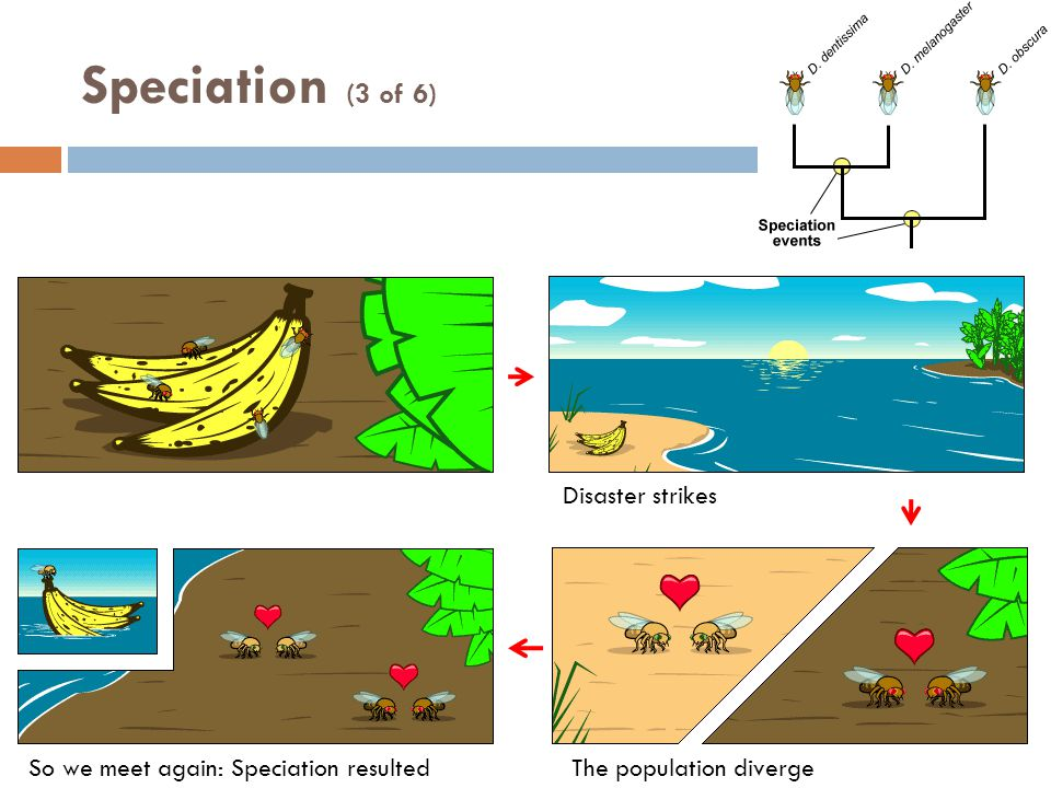 Speciation (3 of 6) Disaster strikes The population divergeSo we meet again: Speciation resulted