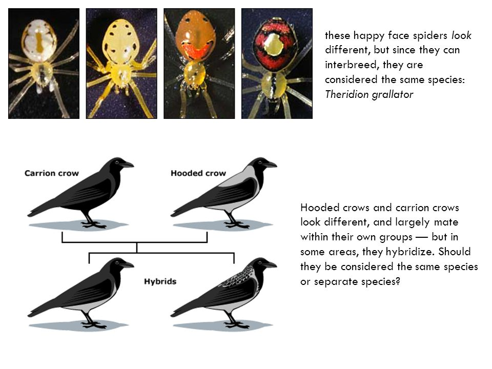 these happy face spiders look different, but since they can interbreed, they are considered the same species: Theridion grallator Hooded crows and carrion crows look different, and largely mate within their own groups — but in some areas, they hybridize.