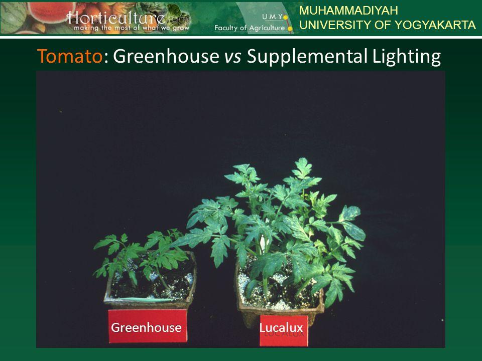 MUHAMMADIYAH UNIVERSITY OF YOGYAKARTA Petunia: Greenhouse vs Supplemental Lighting SODIUM METAL HALIDE GREENHOUSE