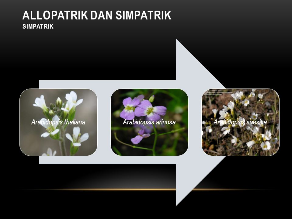 Arabidopsis thalianaArabidopsis arinosaArabidopsis suesica ALLOPATRIK DAN SIMPATRIK SIMPATRIK