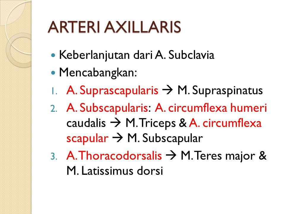 ARTERI AXILLARIS Keberlanjutan dari A. Subclavia Mencabangkan: 1. A. Suprascapularis  M. Supraspinatus 2. A. Subscapularis: A. circumflexa humeri cau