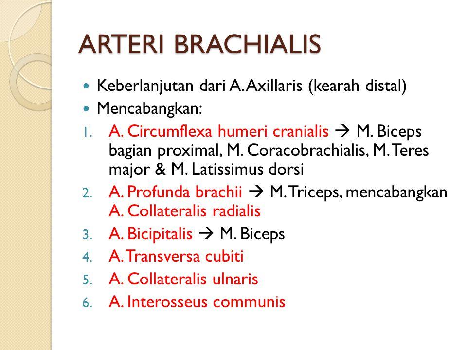 ARTERI BRACHIALIS Keberlanjutan dari A. Axillaris (kearah distal) Mencabangkan: 1. A. Circumflexa humeri cranialis  M. Biceps bagian proximal, M. Cor