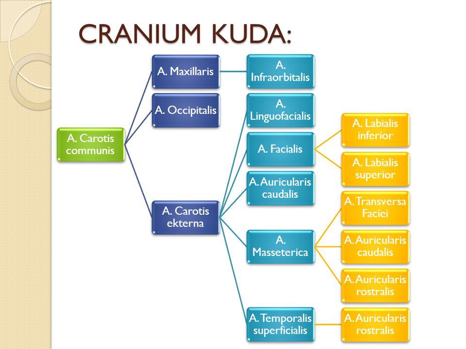 CRANIUM KUDA: A. Carotis communis A. Maxillaris A. Infraorbitalis A. Occipitalis A. Carotis ekterna A. Linguofacialis A. Facialis A. Labialis inferior