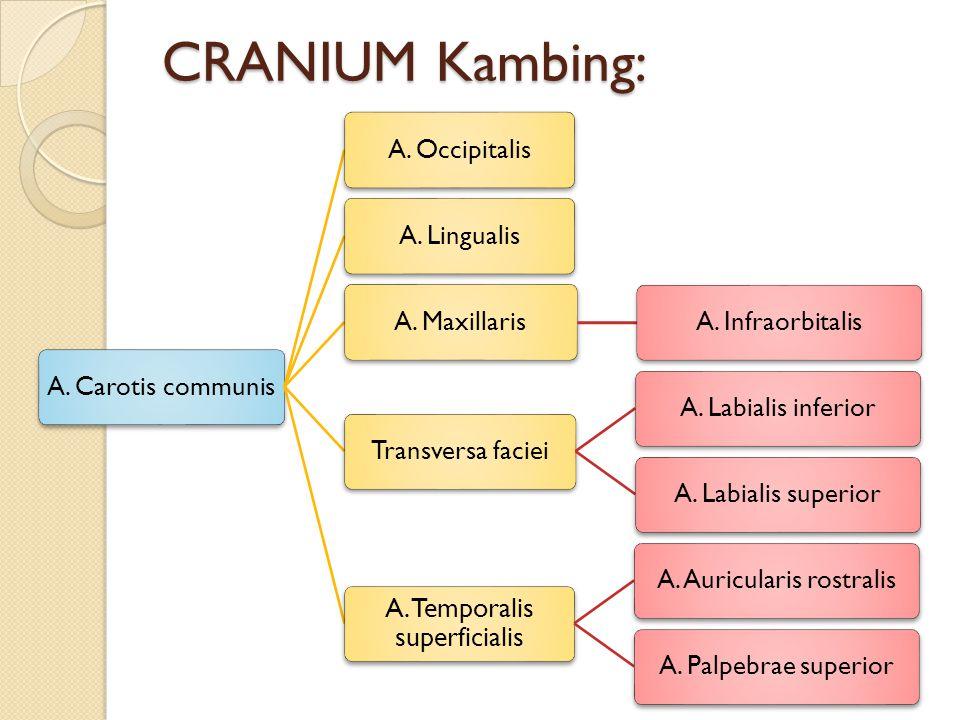 CRANIUM Kambing: A. Carotis communisA. OccipitalisA. LingualisA. MaxillarisA. InfraorbitalisTransversa facieiA. Labialis inferiorA. Labialis superior