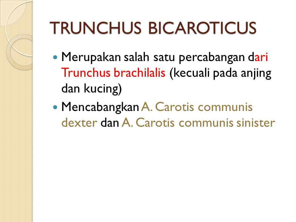 TRUNCHUS BICAROTICUS Merupakan salah satu percabangan dari Trunchus brachilalis (kecuali pada anjing dan kucing) Mencabangkan A. Carotis communis dext