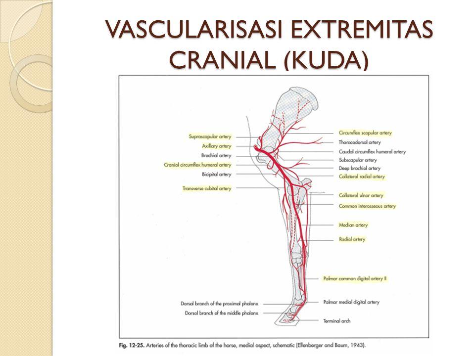 VASCULARISASI EXTREMITAS CRANIAL (KUDA)