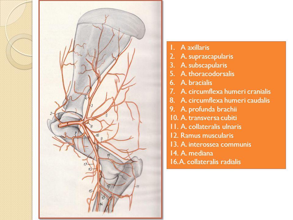 1.A axillaris 2.A.suprascapularis 3.A. subscapularis 5.A.