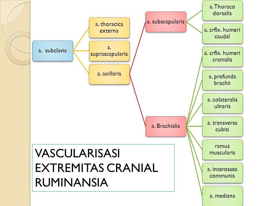 a.subclavia a. thoracica externa a. suprascapularis a.