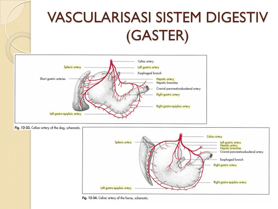 VASCULARISASI SISTEM DIGESTIV (GASTER)