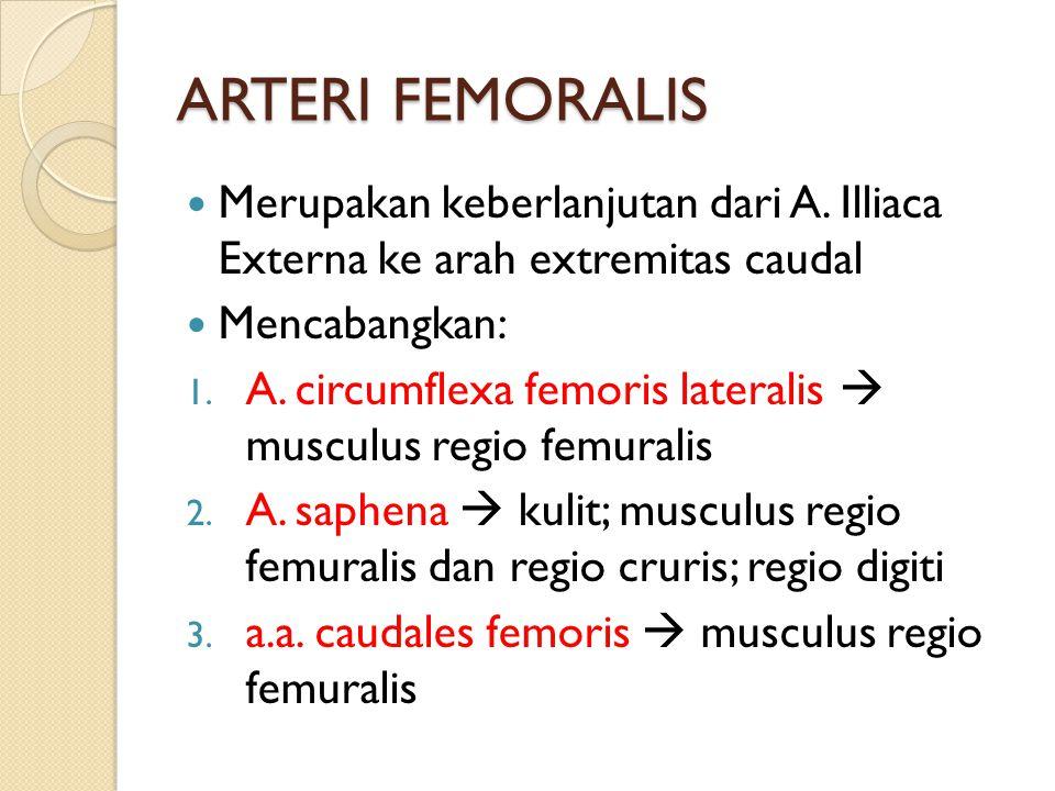 ARTERI FEMORALIS Merupakan keberlanjutan dari A. Illiaca Externa ke arah extremitas caudal Mencabangkan: 1. A. circumflexa femoris lateralis  musculu