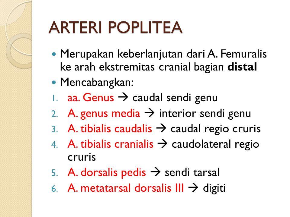 ARTERI POPLITEA Merupakan keberlanjutan dari A. Femuralis ke arah ekstremitas cranial bagian distal Mencabangkan: 1. aa. Genus  caudal sendi genu 2.