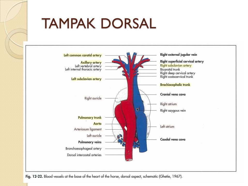 TAMPAK DORSAL