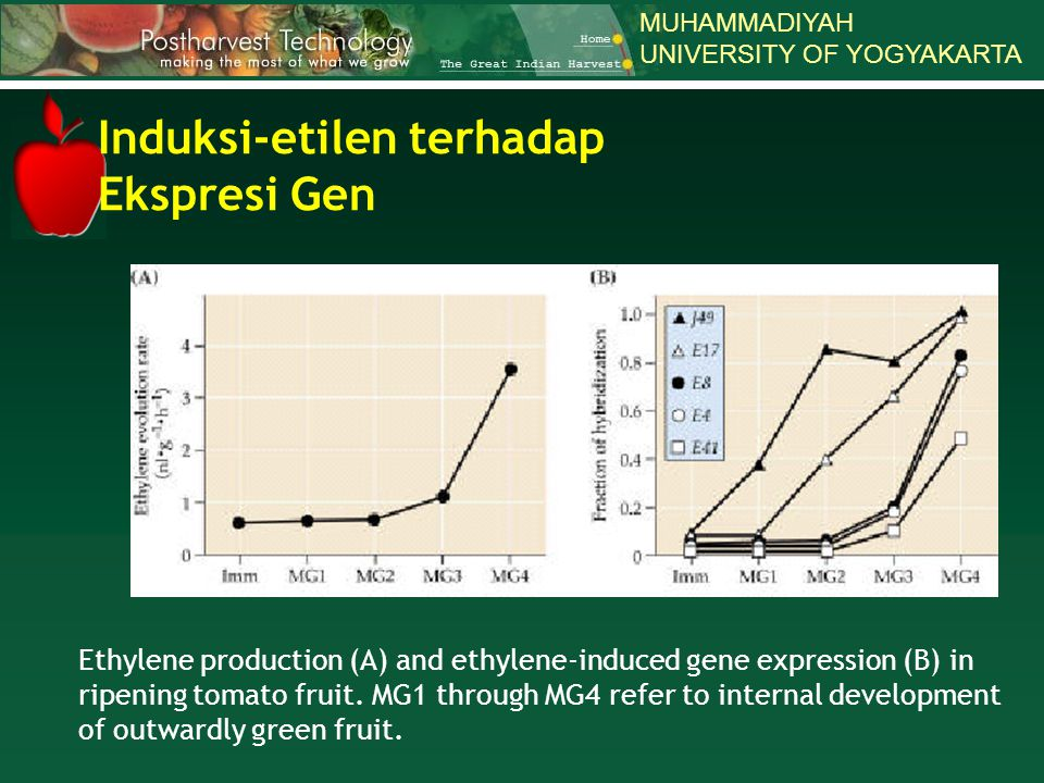 MUHAMMADIYAH UNIVERSITY OF YOGYAKARTA Ethylene production (A) and ethylene-induced gene expression (B) in ripening tomato fruit. MG1 through MG4 refer
