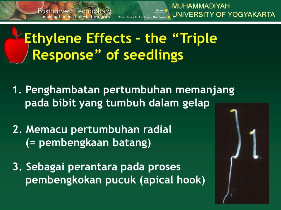 MUHAMMADIYAH UNIVERSITY OF YOGYAKARTA 1. Penghambatan pertumbuhan memanjang pada bibit yang tumbuh dalam gelap 2. Memacu pertumbuhan radial (= pembeng