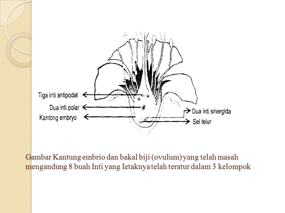 Gambar Kantung embrio dan bakal biji (ovulum) yang telah masah mengandung 8 buah Inti yang Ietaknya telah teratur dalam 3 kelompok
