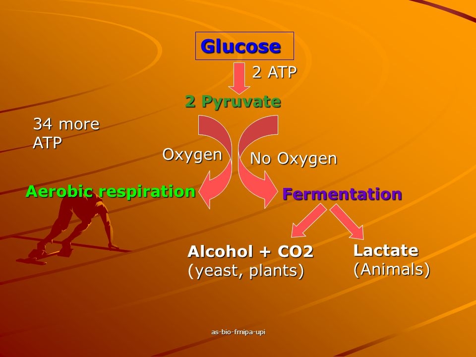 as-bio-fmipa-upi Glucose 2 Pyruvate 2 ATP No Oxygen Oxygen Aerobic respiration Fermentation Alcohol + CO2 yeast, plants) Alcohol + CO2 (yeast, plants) Lactate (Animals) 34 more ATP