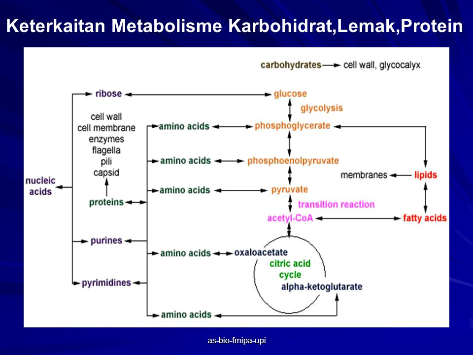 as-bio-fmipa-upi KETERKAITAN PROSES KATABOLISME DAN ANABOLISME Protein makanan Asam amino Protein tubuh Aseti co-A Produksi ATP Senyawa kerangka karbon Asam piruvat atau intermediet siklus Krebs Senyawa lain yang mengandung nitrogen Urea NH 4 + Disekresi kan Glukosa As.Amino dlm Sel