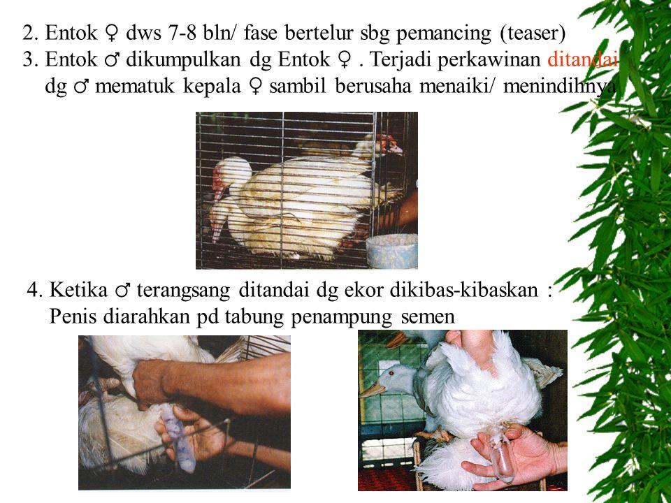 2.Entok ♀ dws 7-8 bln/ fase bertelur sbg pemancing (teaser) 3.