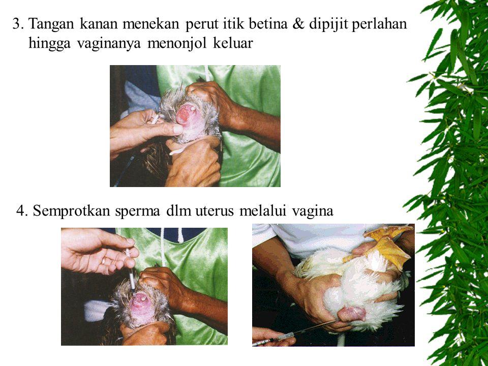 3.Tangan kanan menekan perut itik betina & dipijit perlahan hingga vaginanya menonjol keluar 4.