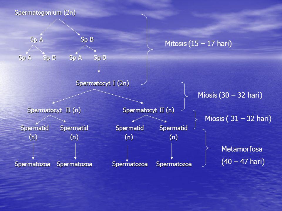 Spermatogonium (2n) Sp A Sp B Sp A Sp B Sp A Sp B Sp A Sp B Sp A Sp B Sp A Sp B Spermatocyt I (2n) Spermatocyt I (2n) Spermatocyt II (n) Spermatocyt II (n) Spermatocyt II (n) Spermatocyt II (n) Spermatid Spermatid Spermatid Spermatid Spermatid Spermatid Spermatid Spermatid (n) (n) (n) (n) (n) (n) (n) (n) Spermatozoa Spermatozoa Spermatozoa Spermatozoa Mitosis (15 – 17 hari) Miosis (30 – 32 hari) Miosis ( 31 – 32 hari) Metamorfosa (40 – 47 hari)