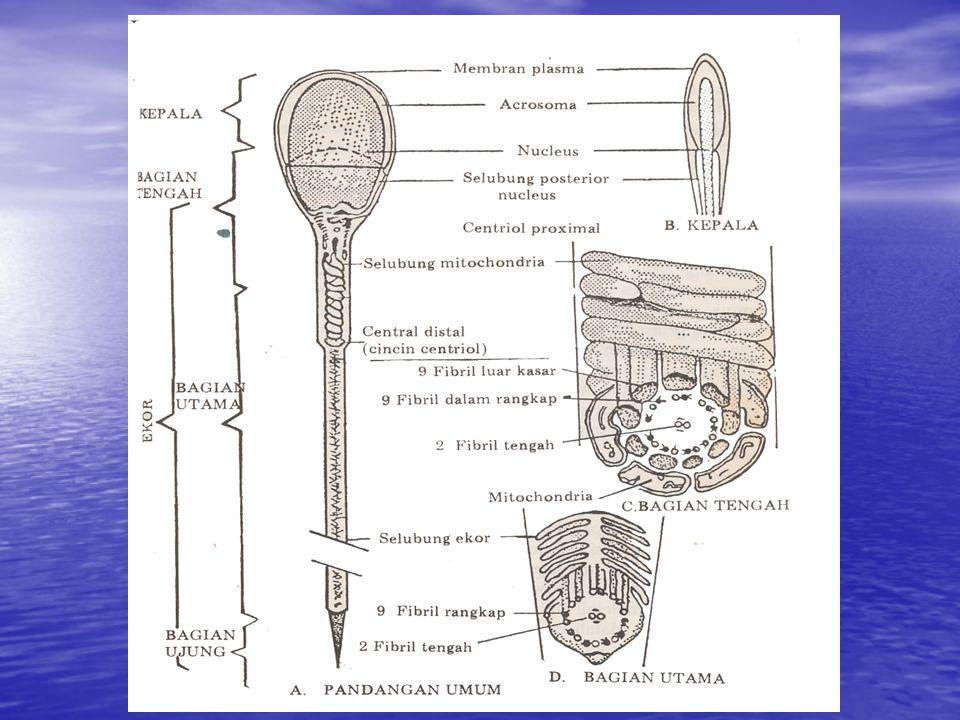 Abnormal spermatozoa Dibagi dua: Dibagi dua: - Abnormal primer - Abnormal primer - Abnormal sekunder Meliputi : Meliputi : - Abnormal pada kepala - Abnormal pada ekor