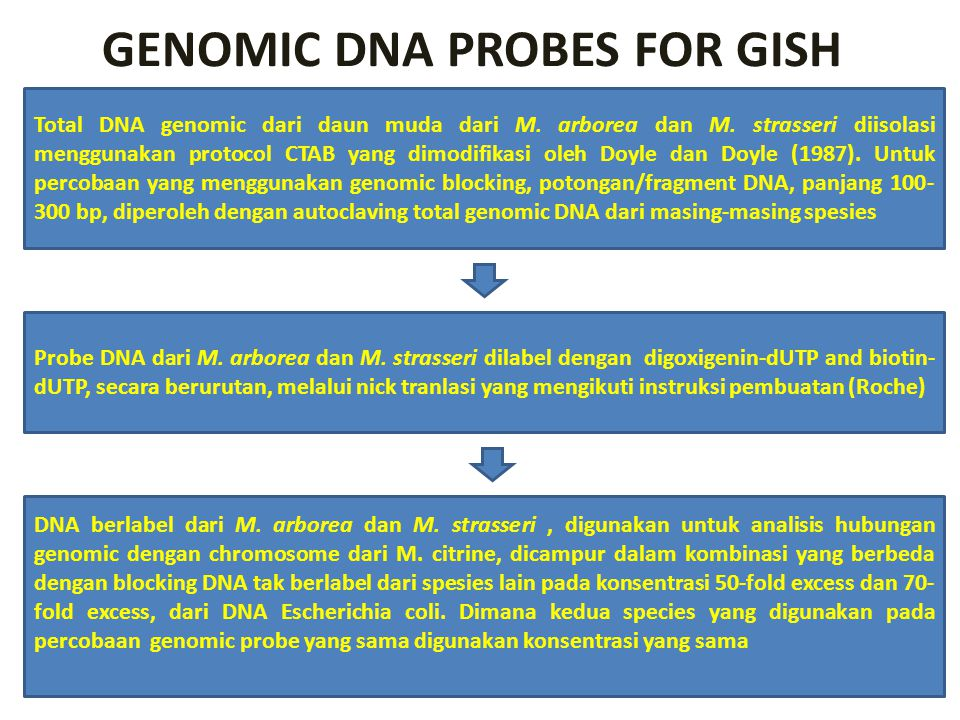 GENOMIC DNA PROBES FOR GISH Total DNA genomic dari daun muda dari M. arborea dan M. strasseri diisolasi menggunakan protocol CTAB yang dimodifikasi ol