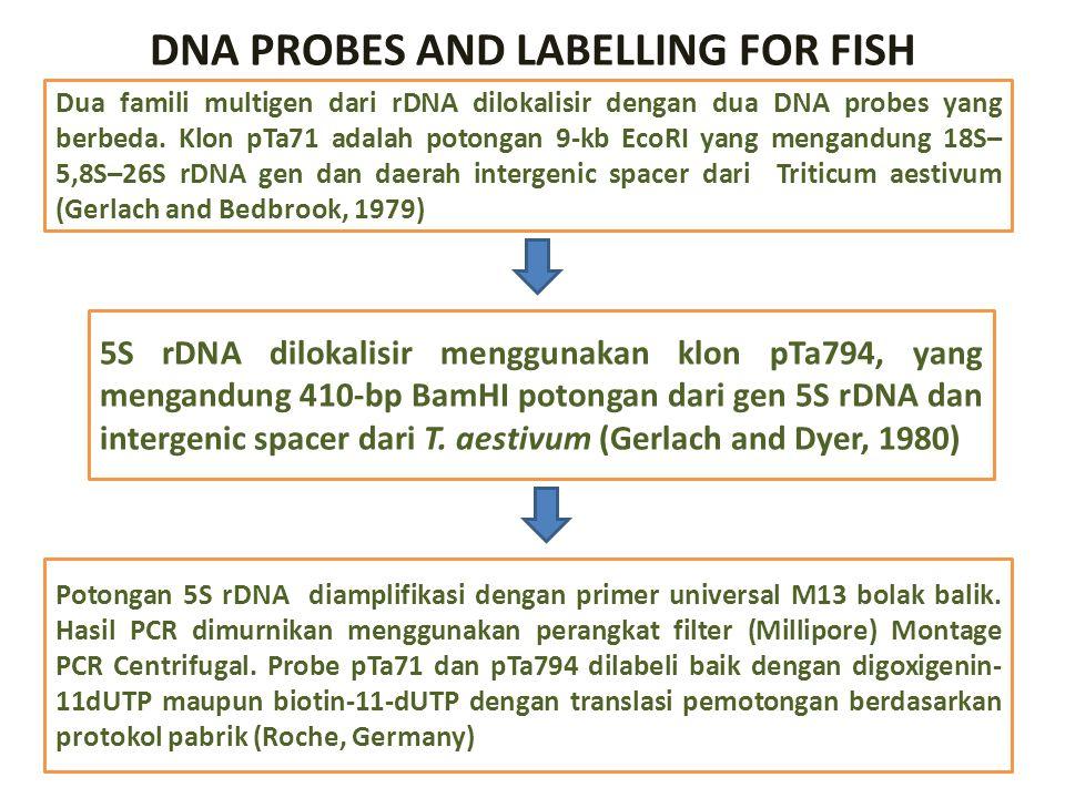 DNA PROBES AND LABELLING FOR FISH Dua famili multigen dari rDNA dilokalisir dengan dua DNA probes yang berbeda. Klon pTa71 adalah potongan 9-kb EcoRI